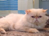 Registered male Himalayan