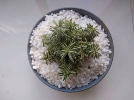 Sedum plant in bowl (x2 available)