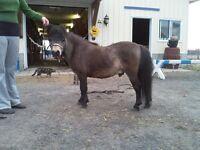 """Amhr amha stallion 32"""""""