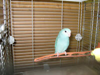 baby blue parrotlets ( reduced)
