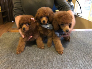 Teacup-Toy Poodle Puppies
