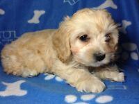 Super Cute Cockapoo puppies For Sale