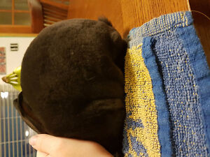 Purebred Pedigreed 10 week old Black Mini Rex Doe