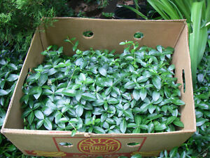 STILL TIMETO PLANT THIS FALL. Periwinkle  Perennial Ground Cover London Ontario image 1