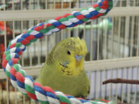 DNA'd Male English Budgie