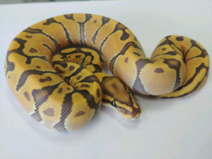 Liste de ball pythons disponibles