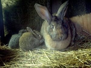 pure bred FLEMISH GIANT baby rabbits ready May 15th