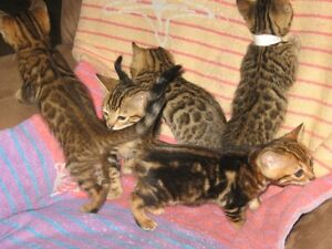 5 petits chatons Bengal (reste 3)