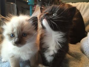 Polydactyl Maine Coon/Siamese Cross kittens