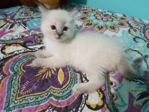 Precious Ragdoll kittens Available