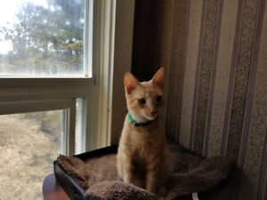 8 month old male Kitten for Adoption