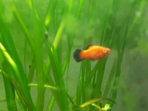 Poissons platy Mickey Mouse