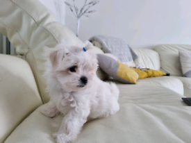 Maltese. Maltese puppies 💙Last Cute Boys💙 Ready Now