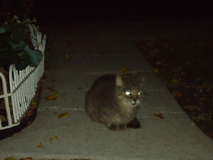 Grey Cat 2 Male Found Windsor Region Ontario image 2
