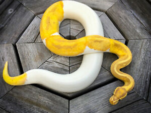 Breeder Banana Pied Ball Python! Stunner from Don Patterson.