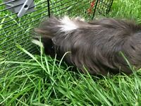 Beautiful male guineapig for sale
