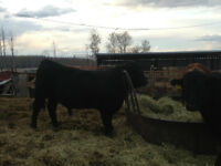 Red & Black Angus yearling Bulls for sale