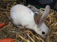 6 month old Mini Rex Buck