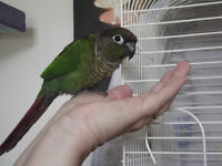 green cheek conure full of personality!