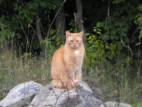 Male Orange Tabby Cat Free to a good home
