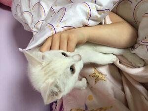 Six toed male white kitten