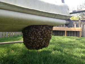 BEES! Bee swarm removal and Bee nest extraction - London London Ontario image 3