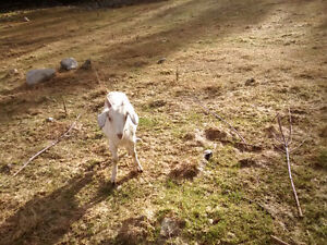 nine month old fixed goat