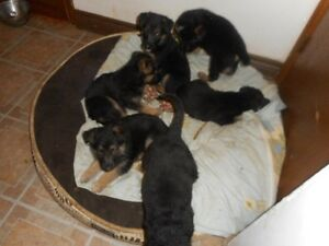 Purebred German Shepherd Puppies ready soon