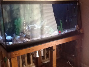 125 gallon fish tank with 4 red belly piranha's - complete Windsor Region Ontario image 1