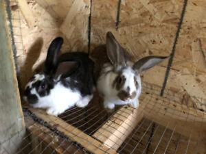 Giant flemish rabbit / lapin geant des flandres