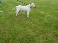 two English bull terrier females