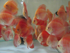 Wide Selection of Discus Cichlids Pleco Arowana Flowerhorn Fish