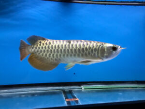 High Quality Asian Arowana
