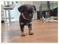 GRIFFON BLACK & TAN PUPPY