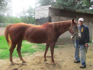 Quarter Horse 1998 à vendre