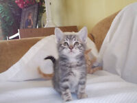 KITTEN  for free   in Sicamous