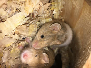 Feeder mice for sale (live)
