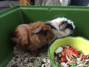 2 Guinea Pigs and Accessories for Sale