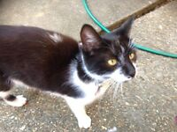 Found black and white Shimmer cat.