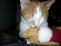 LOST: Orange & White Cat- small with long limbs
