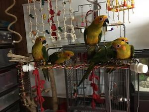 Hand fed baby DNA sexed sun conures