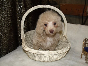 toy poodle puppy male