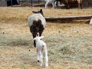 ewe 1-2yr old, pairs