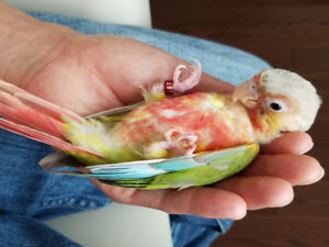 ☆☆☆ Super Friendly High Red Pineapple Conure  Baby☆☆☆