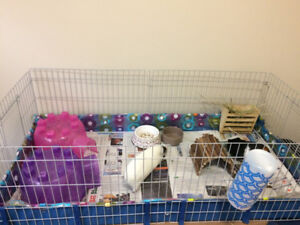 Two female guinea pigs for rehoming