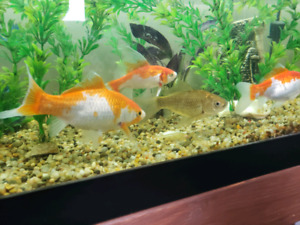 5 Fancy Goldfish and a Pleco