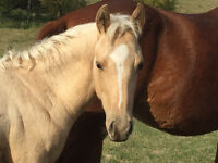 2015 palomino filly for sale