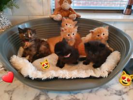 ❤ STUNNING KITTENS ❤ 1/4 Main Coon 1/4 Ragdoll