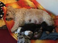 Cavaollie Puppies