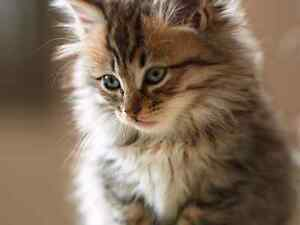 In urgent search of free fluffy kitten  London Ontario image 7